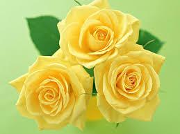 ورد اصفر صور ورد باللون الاصفر افضل جديد