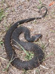 venomous water moccasin or harmless