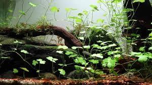 how to remove black beard algae this