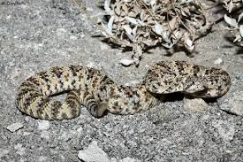 Southwestern Speckled Rattlesnake Crotalus Mitchellii Pyrrhus