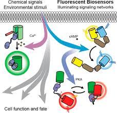 Genetically Encoded Fluorescent Biosensors Illuminate the Spatiotemporal  Regulation of Signaling Networks. - Chem. Rev. - X-MOL