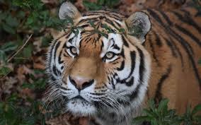 تحميل خلفيات نمر آمور المفترس الحياة البرية النمور الغابات