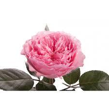 Pink Garden Rose - Mayra - Garden Roses - Roses   Flower Muse