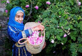حسان المياحي Ar Twitter موسم حصاد الورد في الجبل الاخضر مساء