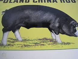 RARE ORIGINAL POLAND CHINA HOG PIG ADVERTISING SIGN STEEL LITHO FARM ANIMAL  | #479587414