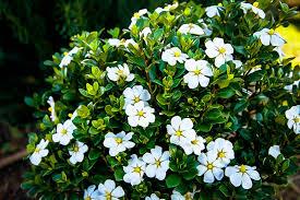 scentamazing gardenias
