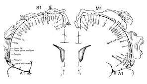 7 cortical homunculus by wilder graves