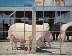 25 Feedlot Panel Hog 16 Ft L X 34 In H Tractor Supply Online Store Hog Wire Fence Raising Pigs Pig Fence