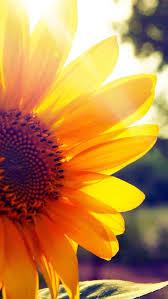flower sunflower petal yellow sky