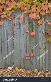 Boston Ivy Wooden Fence Autumn Background Nature Stock Image 497049112