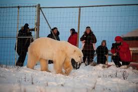 Polar Bear Photo Safari Polar Bear Tours Churchill Wild