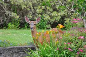 how to keep deer out of your garden