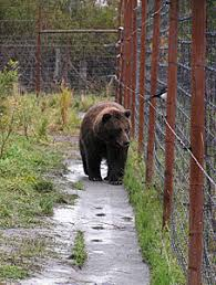 Electric Fences As Bear Deterrents Alaska Department Of Fish And Game