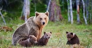 Karhu on kansalliseläin, mutta mikä on kansalliskukka? – Nämä ovat ...
