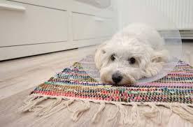 dog licking carpet reasons why and
