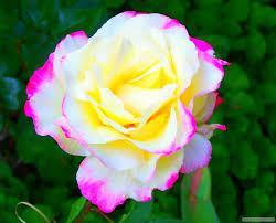 صور ورد صورورد رومانسية 2020 صور الورد ورد طبيعى منتديات حب