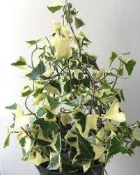 Vamsha Nature Care Ivy Plant Price in India - Buy Vamsha Nature Care Ivy  Plant online at Flipkart.com