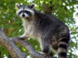 Raccoons Can Create Problems Features Hanfordsentinel Com
