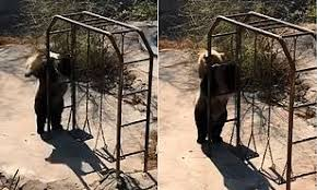 Disco dancing' bear sends internet into a frenzy with her ...