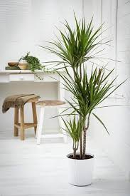 26 best large indoor plants tall