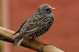 Szpak - Ptaki | Ptaki, Zwierzęta i Zdjęcia