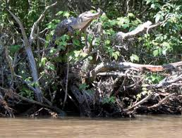 If You Think Climbing A Tree Will Save You From A Crocodile Smart News Smithsonian Magazine