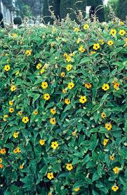 20 Best Flowering Vines And Vine Plants Best Wall Climbing Vines To Plant