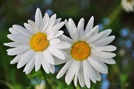 Stokrotka Stokrotki Kwiatowy - Darmowe zdjęcie na Pixabay