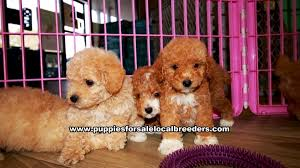 apricot toy poodle puppies
