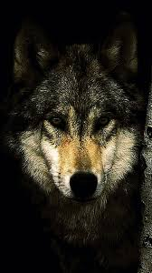 mobile wallpapers hd wolf wolf