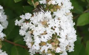 Early Bird White Crape Myrtle - 2 Gallon - Shrub, Tree - Dwarf Crape ...