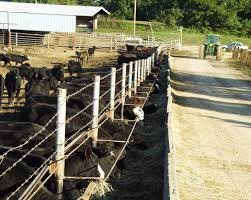Stocker Cattle Receiving Management Mississippi State University Extension Service