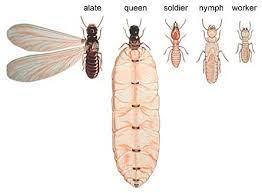 30+ Subterranean Termites Queen Images