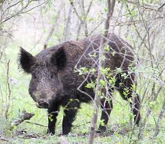 feral hogs on rise in county beaumont