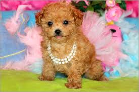 poodle puppies in louisiana