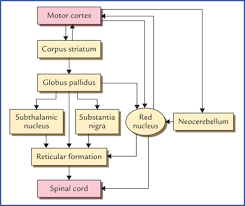 somatic motor and sensory pathways