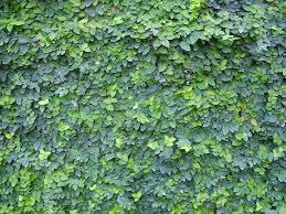 Looking For A Vine For Dry Shade Pagar Tanaman Tanaman Rambat Taman Indah