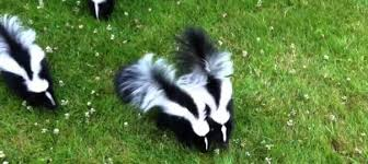 How To Get Rid Of Skunks And Skunk Smell Diy Tips Contractor Cost