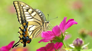 صور فراشات جميلة بمختلف ألوانها و أنواعها الرائعة الجمال