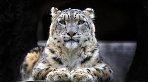 snow leopard wallpaper 1920x1080 59083