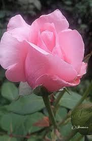 292 Best ورد بمبي جميل Images Beautiful Flowers Pretty