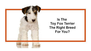 toy fox terrier puppies pittsburgh