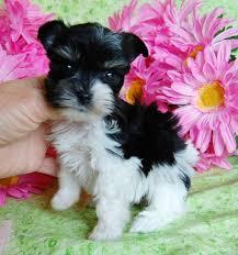 toy teacup miniature schnauzer puppies