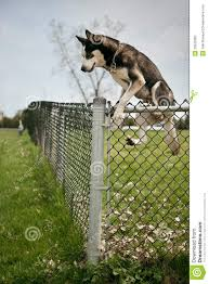 Dog Jumping Over An Outdoor Dog Park Fence Stock Photo Image Of Eskimo Alaskan 33520360
