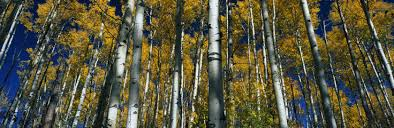 36 293 Aspen Trees Wall Murals Canvas Prints Stickers Wallsheaven