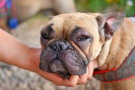 what to do if your dog s face is swollen
