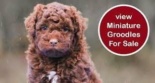 groodle puppies chevromist