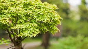 10 great trees for small yards treehugger