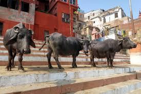 صور الاحترام الذي تحظى به الأبقار في الهند شبكة ابو نواف