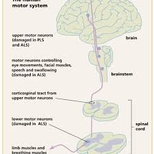 organization of the human motor system